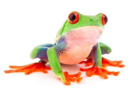 Red eyed monkey tree frog, Agalychnis callydrias. A tropical rain forest animal with vibrant eye isolated on a white background. 免版税图像