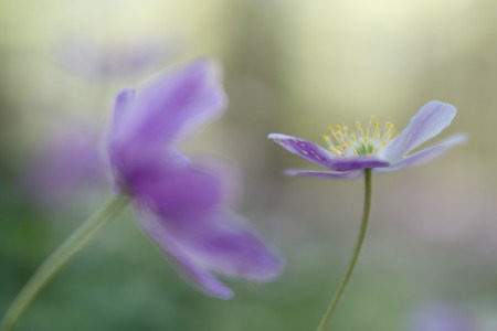 Wood anemone fragility. A pink spring wildflower in soft focus and nice bokeh depicting, purity, hope and serenity.