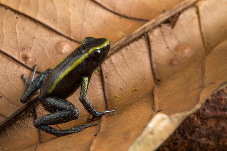 poison dart frog, Phyllobates aurotaenia. A small very poisonous animal from the rain forest in Choco Colombia. Standard-Bild - 119076655