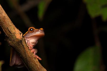 Tropical Amazon rain forest tree frog, Dendrosophus triangulum Standard-Bild - 119667833