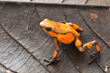 Poison dart frog, Oophaga histrionica. A small poisonous animal from the rain forest of Colombia. Standard-Bild - 119667845