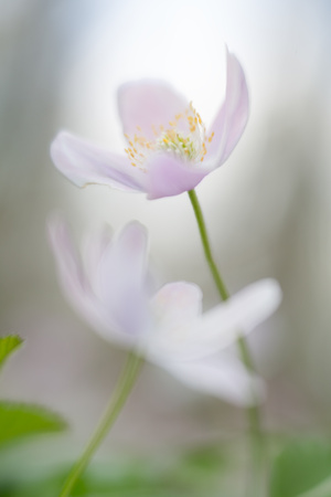 Wood anemone abstract. White wildflowers shallow depth. These wild flowers are among the first announcing new life in spring Standard-Bild - 119667878