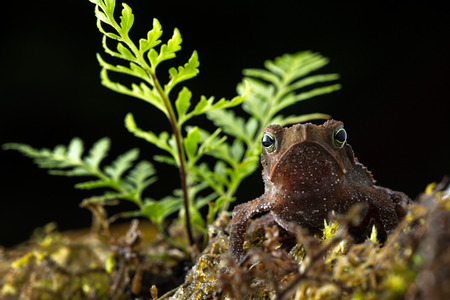 Rhinella margaritifera a macro of a small tropical rain forest toad living in the Amazon jungel of Colombia Standard-Bild - 119667885