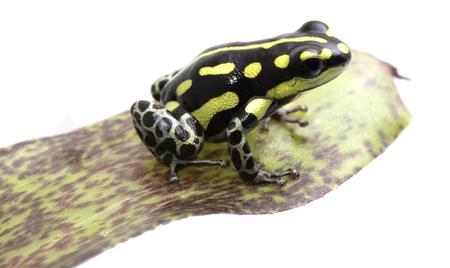 Yellow striped poison dart frog, Ranitomeya flavovitata. A beautiful small poisonous animal from the tropical Amazon rain forest in Peru. Standard-Bild - 119667886