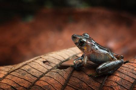 Tropical rain forest ffrog, Pristimantis ockendeni Standard-Bild - 119667887