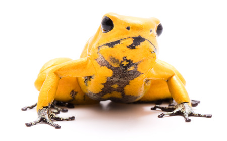 poison dart frog, Phyllobates terribilis orange. Most poisonous animal from the Amazon rain forest in Colombia, a dangerous amphibian with warning colors. Isolated on white Standard-Bild - 119667889
