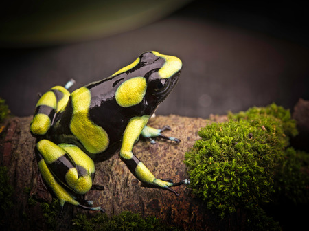 Tropical poison dart frog from the Amazon rain forest in Colombia. Dendrobates auratus a macro of a poisonous animal in the rainforest. Standard-Bild - 119667899