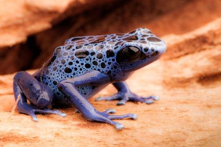Blue and black poison dart frog, Dendrobates azureus. A beautiful poisonous rain forest animal in danger of extinction. Pet amphibian in a rainforest terrarium. Standard-Bild - 119667900