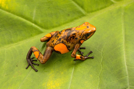 Poison dart frog, Oophaga histrionica. A small poisonous animal from the rain forest of Colombia. Standard-Bild - 119667949