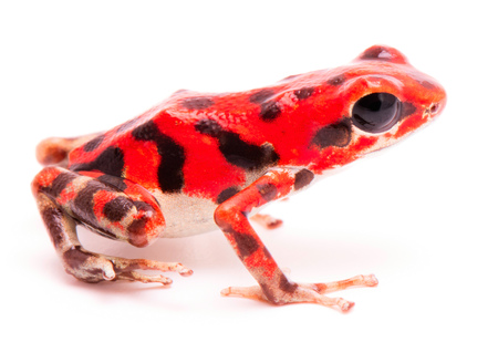 vibrant red poison dart frog. Tropical poisonous rain forest animal, Oophaga pumilio isolated on a white background. Standard-Bild - 119667954