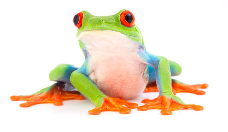 Red eyed monkey tree frog, Agalychnis callydrias. A tropical rain forest animal with vibrant eye isolated on a white background. Imagens