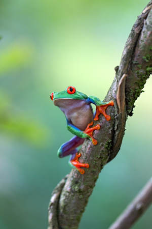 Red eyed tree frog, Agalychnis callydrias ready to jump. A tropical animal from the rain forest of Costa Rica Standard-Bild - 119667961