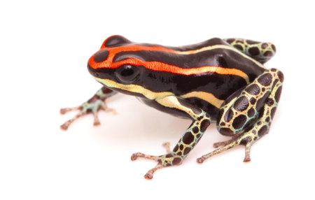 poison dart frog, Ranitomeya uakarii. A small Dendrobates species from the Amazon rain forest in Peru. This animal lives in tropical Amazon rain forest of Peru. Isolated on white background. Standard-Bild - 119668001