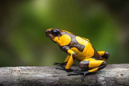 harlequin poison dart frog,Oophaga histrionica. A poisonous animal from the jungle of Colombia. Rain forest amphibian with warning colors Standard-Bild - 121959611