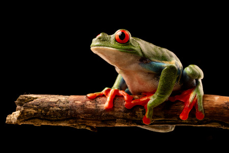 Red eyed tree frog at night on a twig in the rain forest of Costa Rica. Agalchnis callydrias or Monkey treefrog is a nocturnal animal. Standard-Bild - 121959622