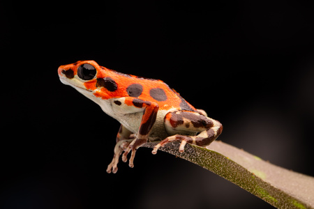 red tropical poison dart frog, OOphaga pumilio from Bocas del Toro, Panama Standard-Bild - 121959675
