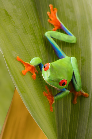 Red eyed tree frog on a leaf in the tropical rain forest of Costa Rica. Agalychnis callydrias or monkey treefrog. Standard-Bild - 121959625
