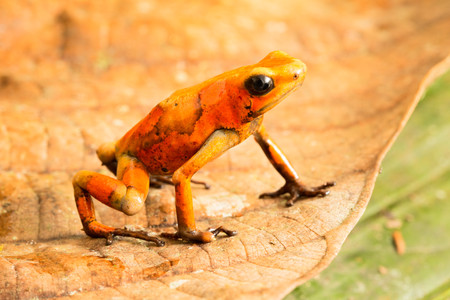 Poison dart frog, Oophaga histrionica. A small poisonous animal from the rain forest of Colombia. Standard-Bild - 121959677