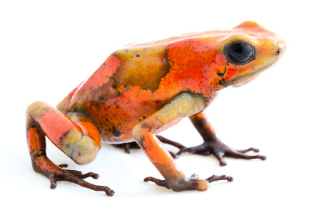 Poison dart frog, Oophaga histrionica. A small poisonous animal from the rain forest of Colombia. Standard-Bild - 121959684