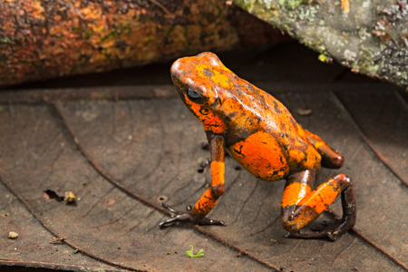 Poison dart frog, Oophaga histrionica. A small poisonous animal from the rain forest of Colombia. Imagens