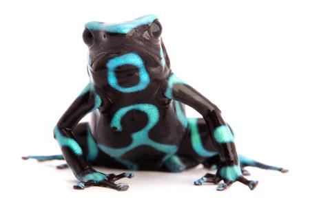 poison arrow frog, Dendrobates auratus on a white background Standard-Bild - 121959691