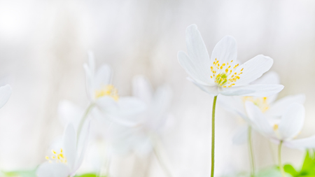Wood anemone spring wild flowers soft focus blurred background with copy space.