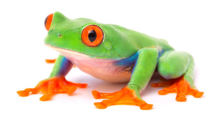 Red eyed tree frog from the tropical rain forest of Costa Rica and Panama. A cute funny exotic animal with vibrant eyes isolated on a white background. Stockfoto