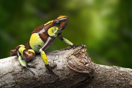 Pfeilgiftfrosch, Oophaga histrionica. Ein kleines giftiges Tier aus dem Regenwald Kolumbiens.