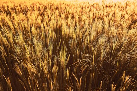 Wheat field of focus from the focus as a background image in the backlight Stock Photo