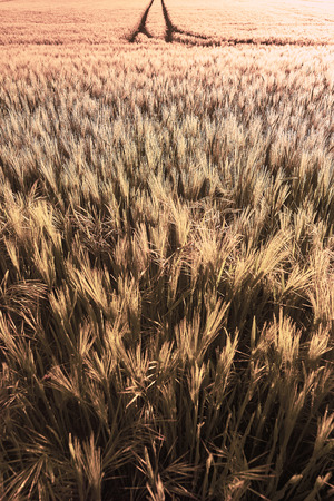 indicative: Wheat field of focus from the focus as a background image in the backlight Stock Photo