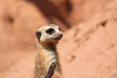 suricate: Meerkat  Suricate Mongoose