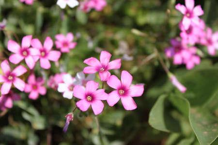 oxalis: Red Oxalis Rubra flower