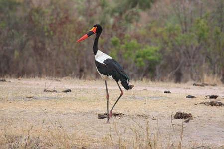 billed: Saddle Billed Stork Stock Photo