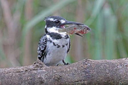 srokaty: Pied Kingfisher Ptak Zdjęcie Seryjne