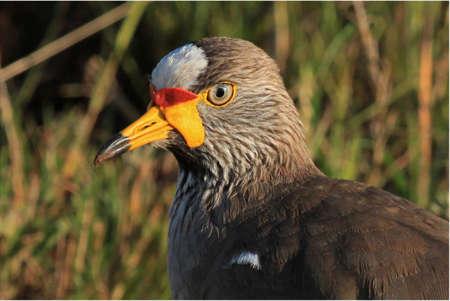 wattled: Wattled plover bird