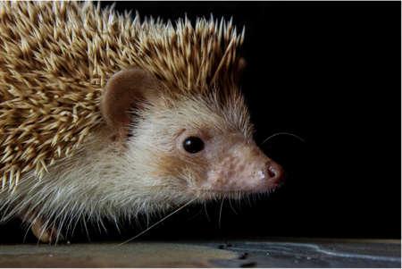 pigmy: Pigmy Hedgehog Stock Photo