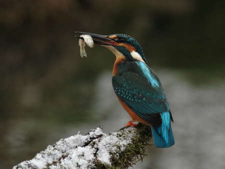 alcedo: Kingfisher (Alcedo atthis) with his prey Stock Photo