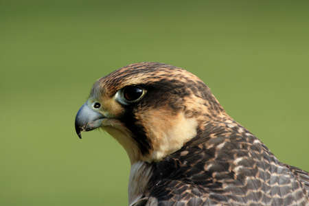 Close up of a Peregrine Falcon (Falco peregrinus) photo