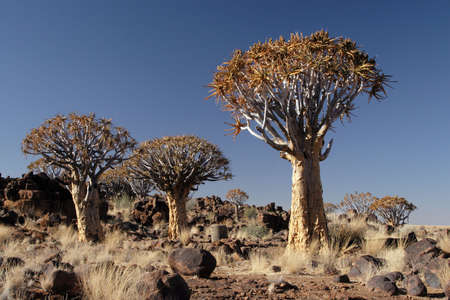 Quiver trees in the desert in Namibia photo