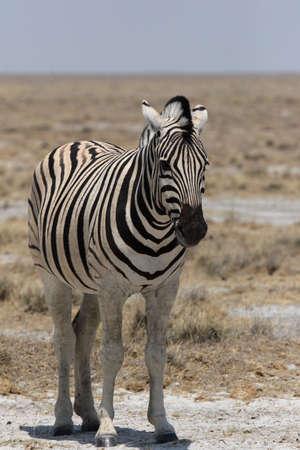 Plains Zebra in the Etosha National Park, Namibia Stock Photo - 4751078