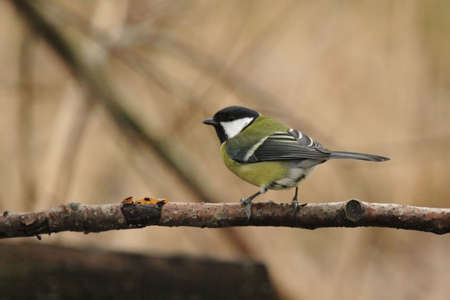 parus major: Great Tit (Parus major) sitting on a branch Stock Photo