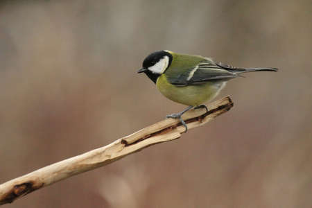 Great Tit (Parus major) sitting on a twig in winter photo