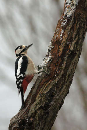 Great Spotted Woodpecker (Dendrocopos major) sitting on a tree trunk photo