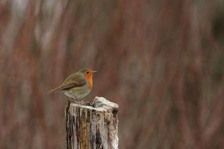rubecula: European Robin (Erithacus rubecula) sitting on a tree stump Stock Photo