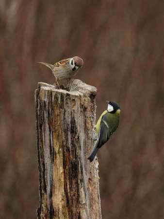Tree Sparrow (Passer montanus) and Great Tit (Parus major) sitting on a tree stump in winter photo