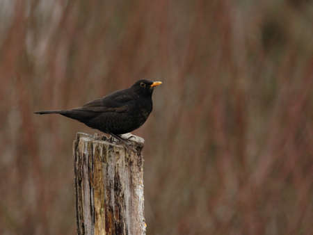 turdus: European Blackbird (Turdus merula) sitting on a tree stump