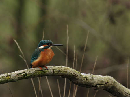 alcedo: Kingfisher (Alcedo atthis) perching on a branch before a nicely blurred green background