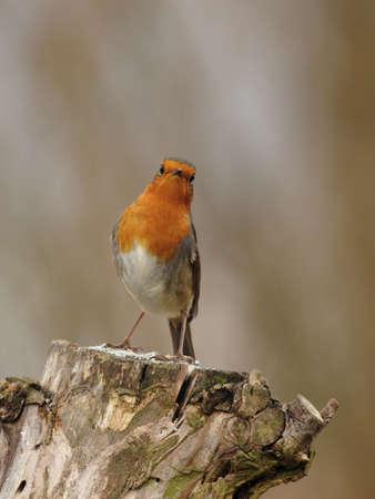 rubecula: European Robin (Erithacus rubecula) sitting on a tree stump in winter