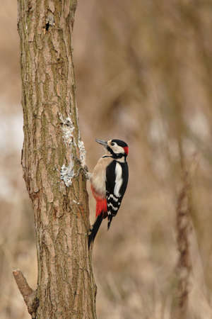 dendrocopos: Great Spotted Woodpecker (Dendrocopos major) sitting on a tree