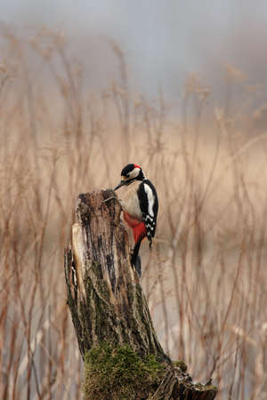 dendrocopos: Great Spotted Woodpecker (Dendrocopos major) sitting on a tree stump Stock Photo